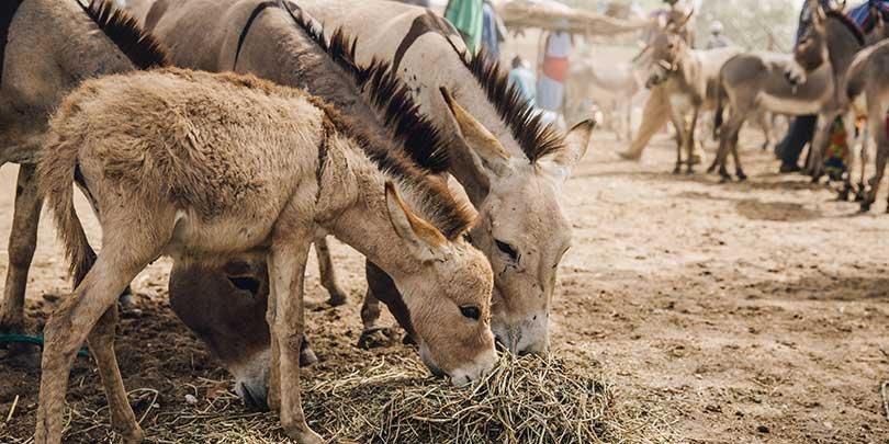 Donkeys in Senegal
