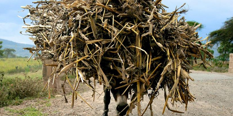 A donkey carrying fodder in Halaba, Ethiopia