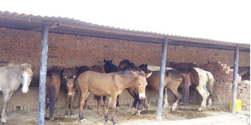 Working equines shelter at the Samar Brick Kiln