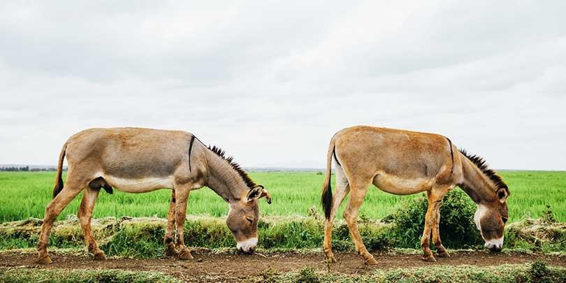 Two donkeys grazing in Kenya