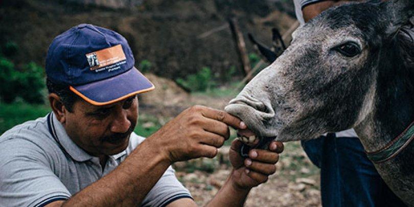A vet treating a donkey in Pakistan