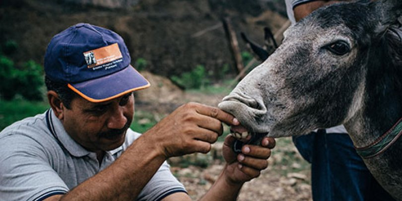 A vet treating a donkey in Pakistan