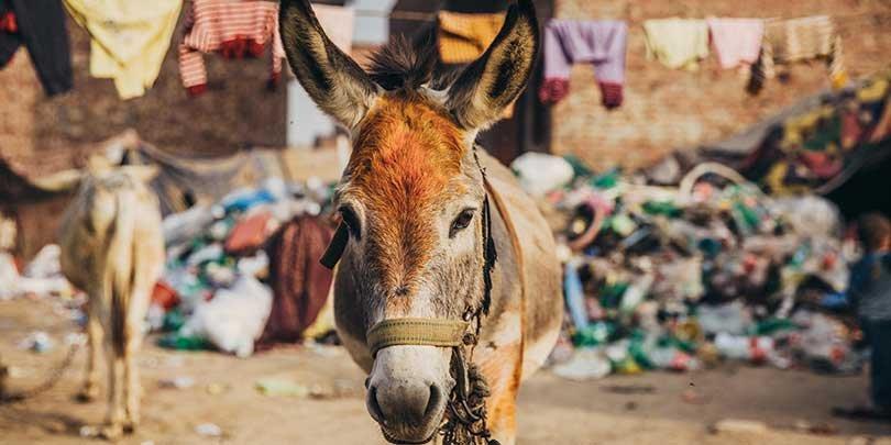 The family's donkey, Ladu