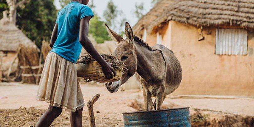 Girl feeding a donkey in Senegal