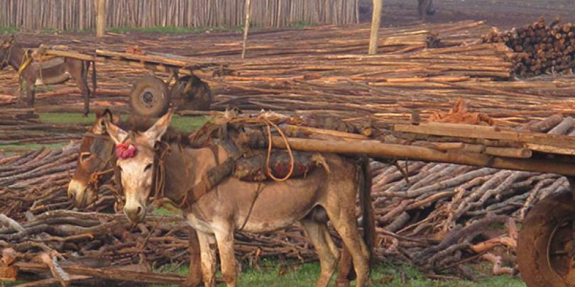A donkey transporting timber