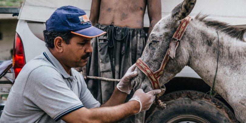 Donkey receiving treatment
