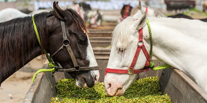 Two horses eating in Pakistan