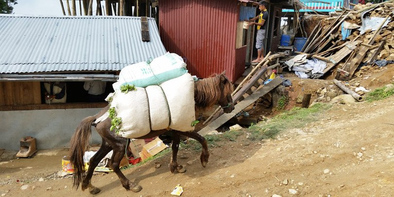 Horse struggles up slope to tea factory