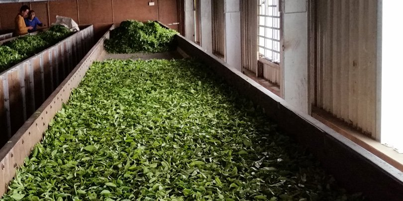 Tea leaves on racks for first stage of withering