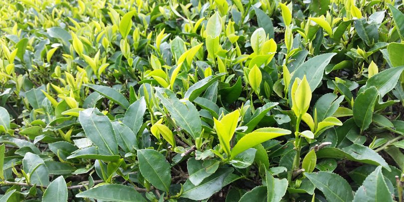 Bud and two leaves at the tip of the tea plant