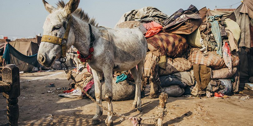 Donkey in Pakistan