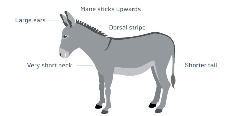 Donkey infographic