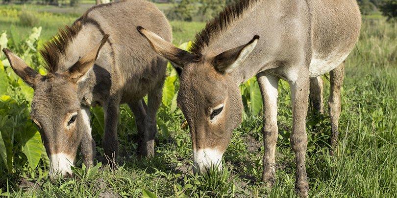 Donkeys in Ehtiopia
