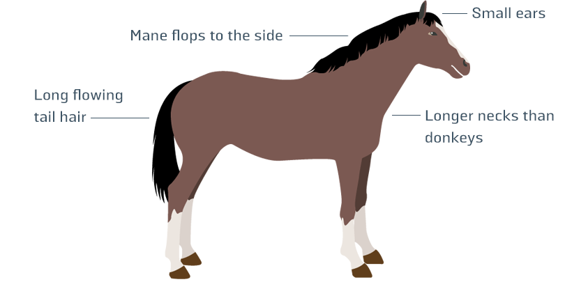 Horse infographic