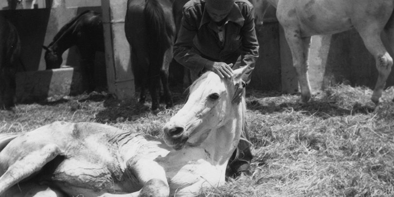 Horse lying down in the corral at Cairo hospital with owner or staff member stroking its head