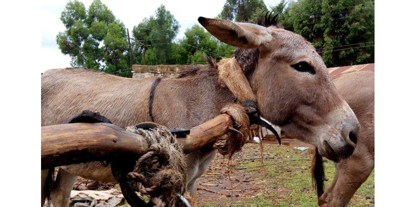 Uncomfortable and inefficient neck-yoke harness on a Kenyan cart donkey.
