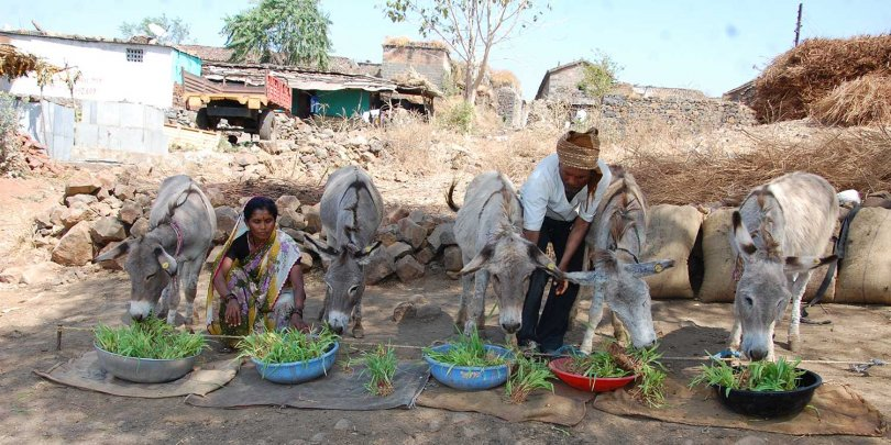 Donkeys enjoying maize and shoots grown through the Hydroponics project
