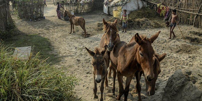 Horses in India
