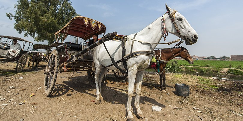 A working horse in Pakistan