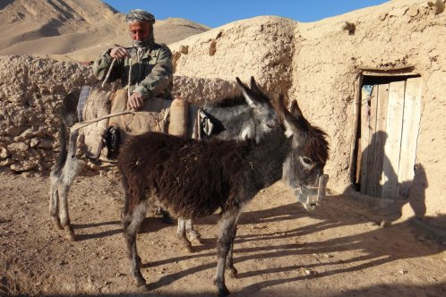 Afghanistan Ab Jabar with his donkey, foal wearing anti-feeding device
