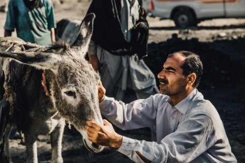 Donkey being treated in Pakistan