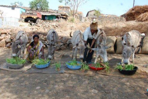 Donkeys enjoying maize shoots