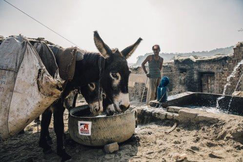 Donkeys drink from Brooke water trough in Pakistan
