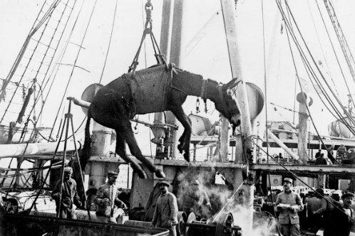 WW1 mule