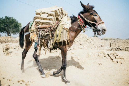 Donkey carrying bricks in India