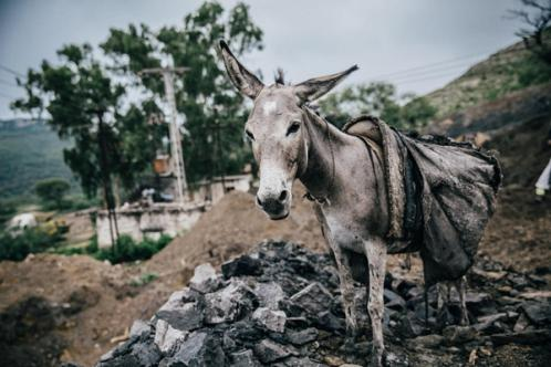 Coal mine donkey in Pakistan
