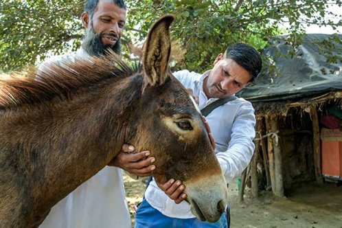 Animal healthcare practitioner Gulfram Ali tending to a donkey