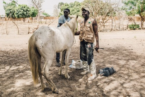 Farrier Omar Fane working in Sokone town, Senegal