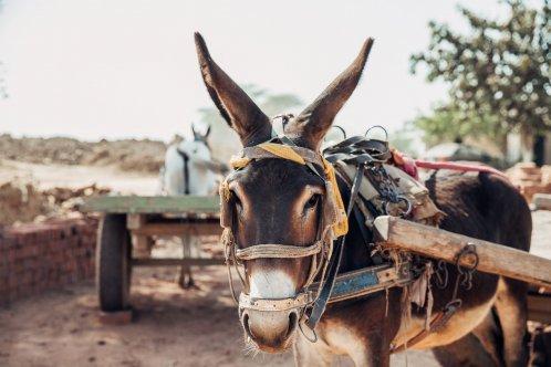 Donkey in a brick kiln in Pakistan, photo by F Dowson