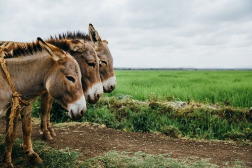 Donkeys in Kenya. Image by F Dowson