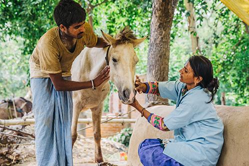 Treating a horse in India