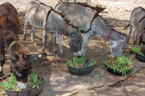Donkeys eating maize shoots in India