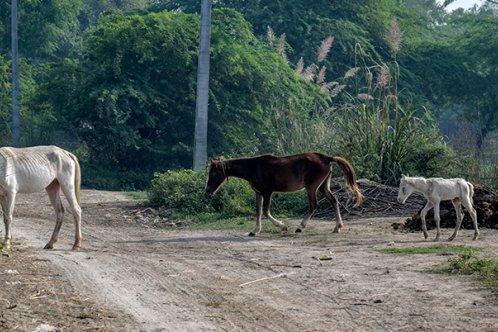 Horses grazing in India