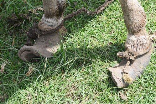 Overgrown feet