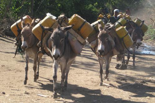 Donkeys carrying water