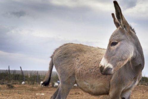 A donkey