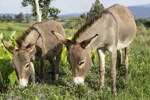 Donkeys in Ethiopia
