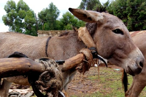 Uncomfortable and inefficient neck-yoke harness on a Kenyan cart donkey