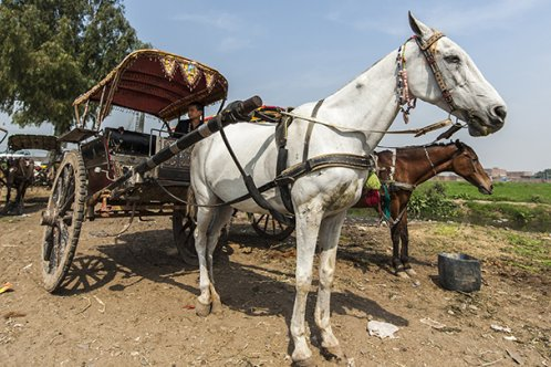 Cart horse in Pakistan