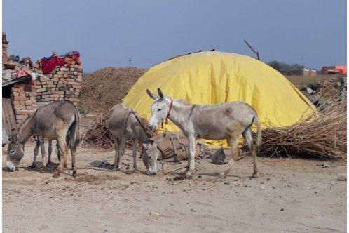 Horses feeding in India