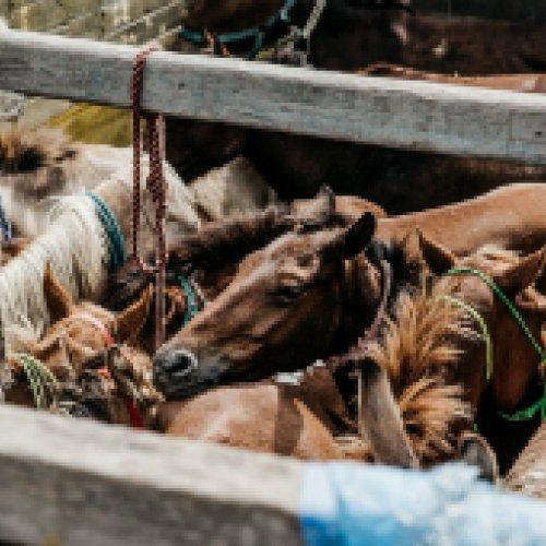 Animals at the Dewa equine fair, India