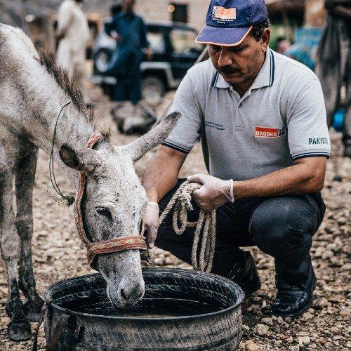 Thirsty donkey drinks water