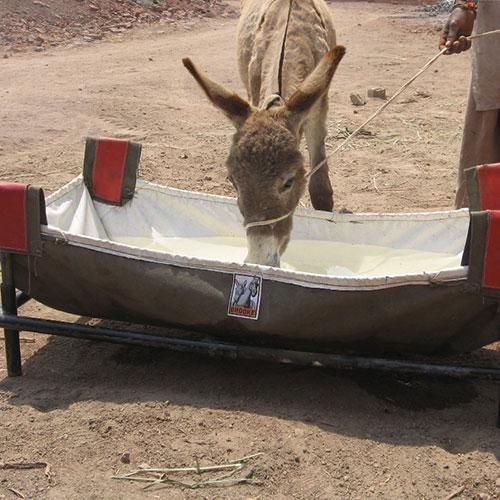 Donkey drinking from Brooke portable water trough