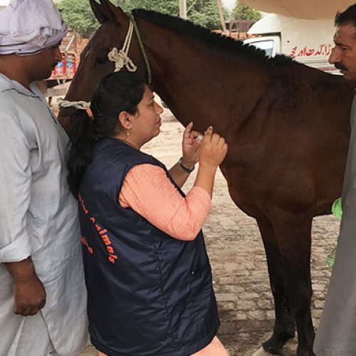 Brooke Pakistan vet mentoring local animal healthcare provider