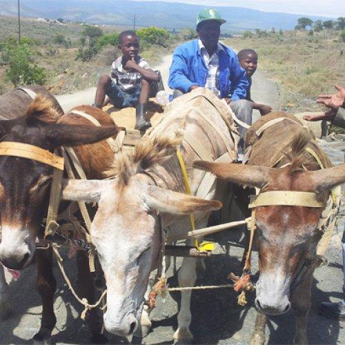 Donkey-friendly harness receives innovation funding