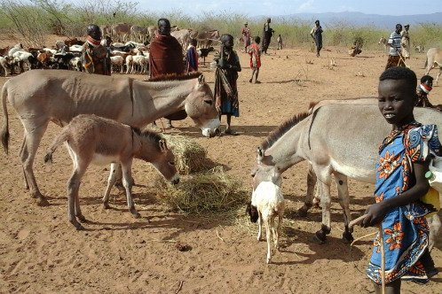 Donkey feeding on Hay in turkana after it was donated